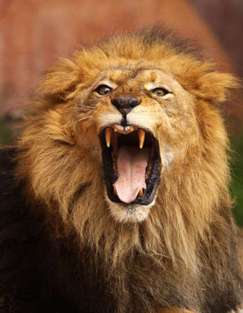 Close up of African Lion roaring with mouth wide open Archivio Fotografico