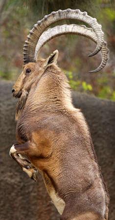 wild goat: Cabra salvaje cr�a hasta para luchar contra un rival