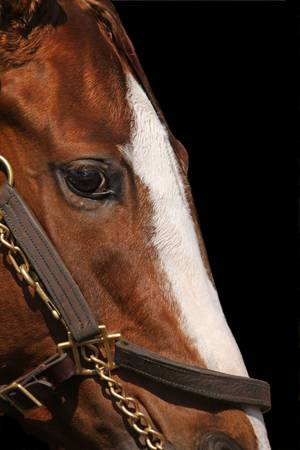 Face of Race Horse with Bridle and Bit on Black Background. Focus on Horse's Eye.