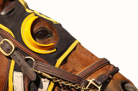 Close up face of race horse with bridle and hood on white background with copy space