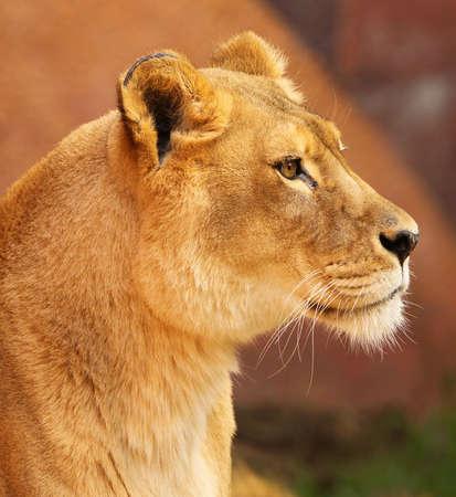 Retrato de perfil de Leona africana en final de sol por la tarde