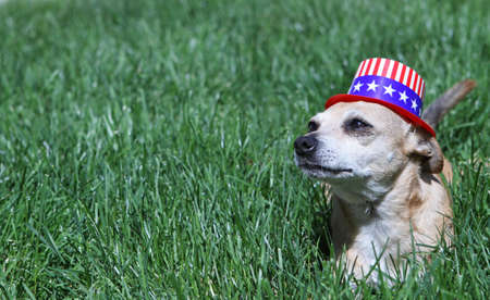 dog,canine,chihuahua,small,pet,companion,hat,patriot,patriotic,fourth,4th,july, photo