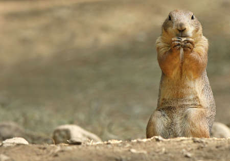 Prairie Dog eating a snack held between his paws. Plenty of copy space to left of Prairie Dog. photo