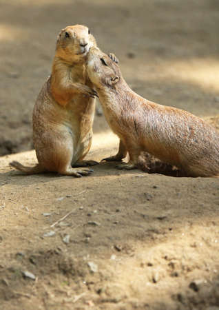 affection: Two Prairie Dogs cuddling and kissing each other. Copy space below Prarie Dogs.