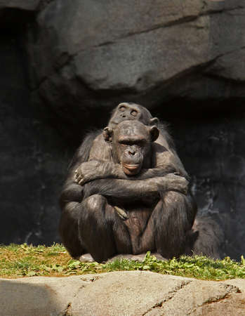A chimpanzee cuddles with her mate in the afternoon sun.