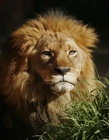 Portrait of male lion in late afternoon sun. Banco de Imagens