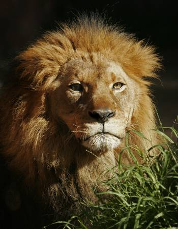 lion face: Portrait of male lion in late afternoon sun. Stock Photo