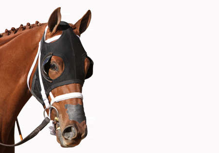 Close up face of Thoroughbred Racehorse in black hood isolated on white with copy space.