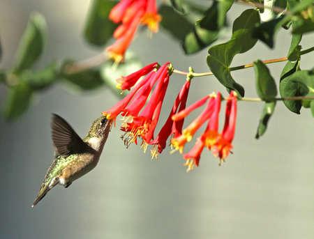 Ruby-Throated Hummingbird feeding at Red Honeysuckle