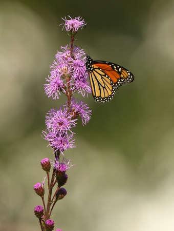 Single Monarch Butterfly enjoying the nectar of the beautiful Meadow Blazingstar flower  Stock Photo