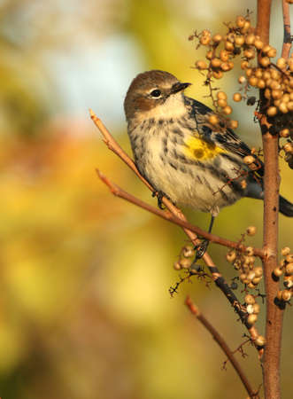 warbler: Female Yellow-Rumped Warbler Stock Photo