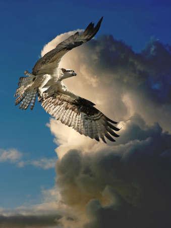 pajaros: Un Osprey vuela a trav�s de las nubes de tormenta a su nido. Foto de archivo