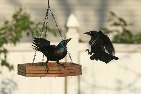 warns: A Common Grackle warns off a challenger at a backyard feeder.