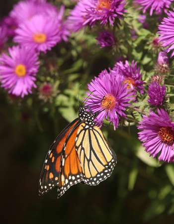 A Monarch butterfly enjoys nectar from a New England Aster flower.