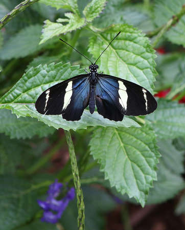 uncluttered: Sara Longwing Butterfly with Wings Spread on Green Leaf Stock Photo
