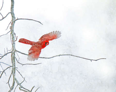 A red Cardinal flies off a bare tree branch in a snowstorm.