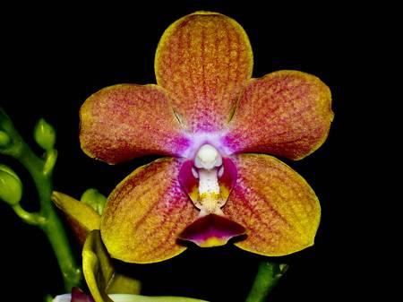 잡종 Ascondenopsis (Vanda  Phalenopsis)