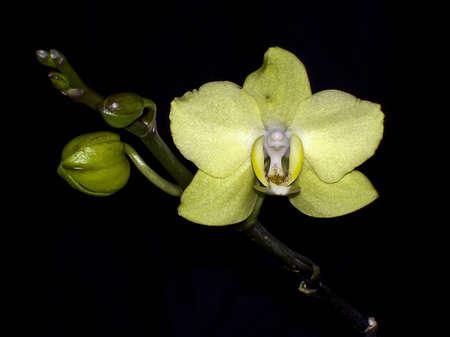 phal: Yellow Phal. Stock Photo