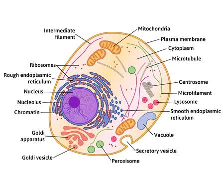 celulas humanas: estructura de la célula, la sección transversal de la anatomía celular detallado con la descripción
