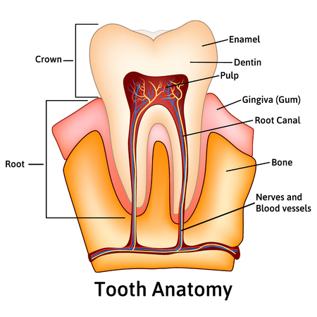 cementum: Human tooth structure medical science educational raster illustration Illustration