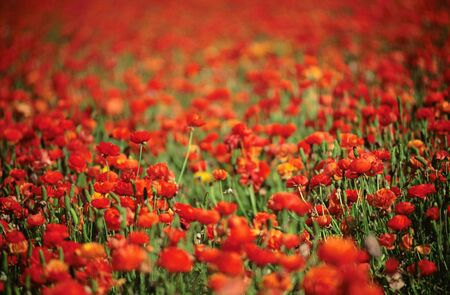 Field of red Ranunculus flowers