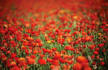 Field of red Ranunculus flowers