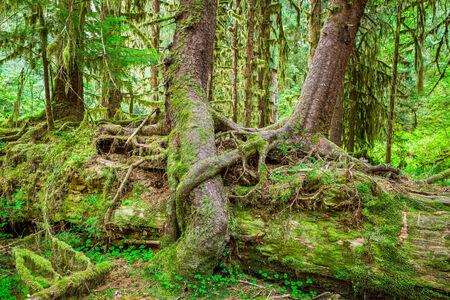Nurse Baum im Olympic National Park, Olympic Peninsula, Washington. Stock Foto von junge Bäume wachsen auf und über einen abgestürzten Nurse Baum in der Hall of Mosses in der Hoh-Regenwald. Standard-Bild - 28460562