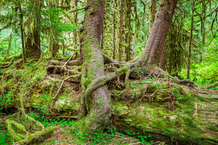 Nurse tree in Olympic National Park, Olympic Peninsula, Washington. Stock photo of young trees growing on and over a downed Nurse Tree in the Hall of Mosses in the Hoh Rainforest.