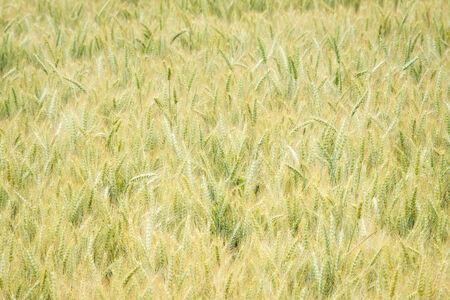 willamette: Crop of wheat in the Willamette Valley, Oregon Stock Photo
