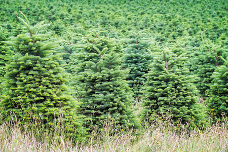 Christmas tree farm in the Willamette Valley, Oregon