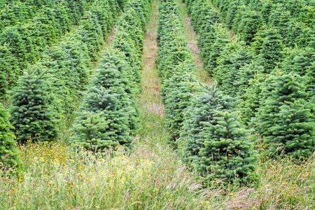 Row of Christmas trees planted at a tree farm in Willamette Valley, Oregon