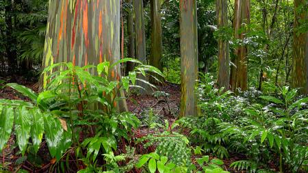 Bunte Baumstämme der Regenbogen-Eukalyptus (Eucalyptus deglupta) am Keanae Arboretum an der Straße nach Hana in Maui, Hawaii