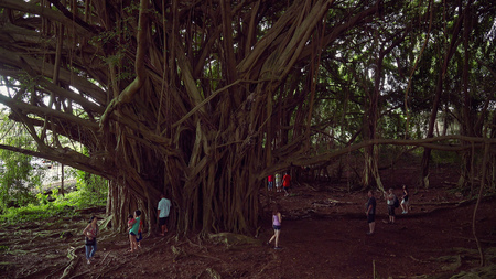 banyan tree: Tourists explore the large Banyan Tree at Wailuku River State Park in Hilo on the Big Island of Hawaii Editorial