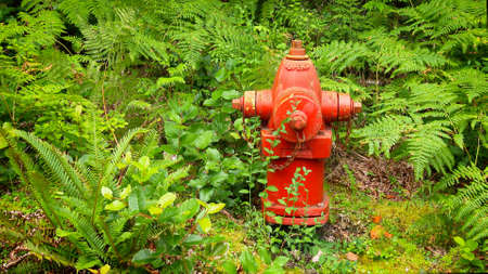pacific northwest: Bright red fire hydrant surrounded by lush green ferns in the Pacific Northwest