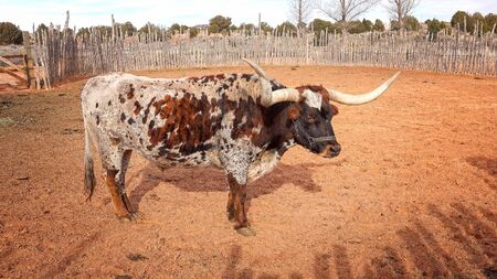 longhorn cattle: Texas Longhorn steer in a pen at Pipe Spring National Monument Stock Photo