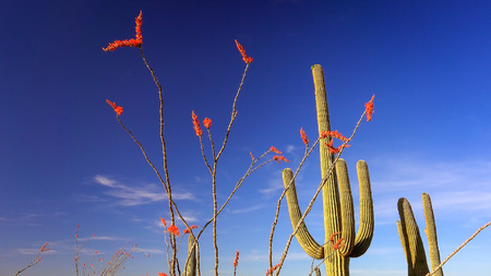 ocotillo: Saguaro Cactus and Ocotillo with colorful blooms in Saguaro National Park Stock Photo