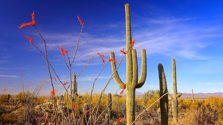 saguaro cactus: Ocotillo with bright red blooms and Saguaro Cactus in Saguaro National Park