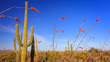 sonoran desert: Sonoran Desert landscape including flowering Ocotillo and Saguaro Cactus Stock Photo