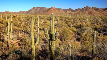 saguaro cactus: Landscape of Saguaro Cactus at Saguaro National Park in Arizona Stock Photo