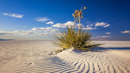 chihuahua desert: Yucca plant on the sand dunes in White Sands National Monument in New Mexico