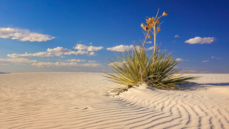alamogordo: Two Yucca plants sit on a a rippled sand dune in White Sands National Monument in New Mexico
