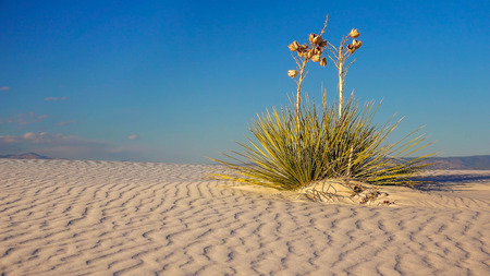 white sands national monument: Two Yucca plants sit on a a rippled sand dune in White Sands National Monument in New Mexico