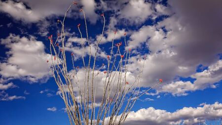 ocotillo: Fowering ocotillo cactus against cloud filled sky in Big Bend National Park, Texas Stock Photo