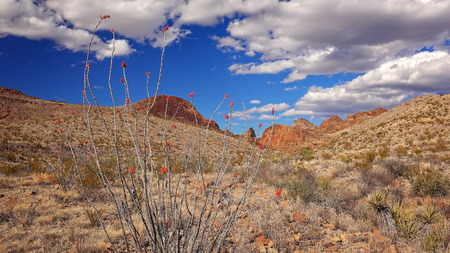 ocotillo: Blooming Ocotillo cactus and desert landscape in Big Bend National Park, Texas