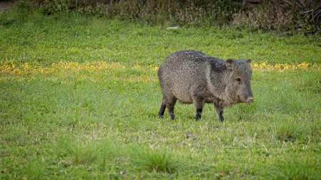 Wild Javelina eats grass in Big Bend National Park, Texas Stock Photo