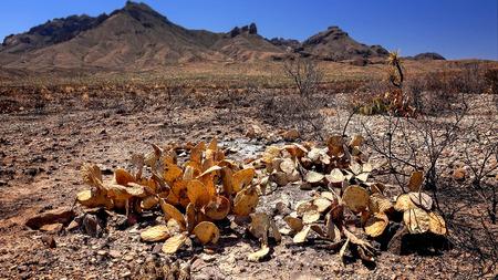 Burnt cactus and desert landscape after a fire in Big Bend National Park