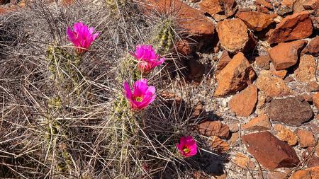 blooming  purple: Purple flowers blooming on cactus in Big Bend National Park