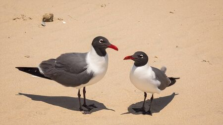 south padre: Laughing Gulls (Larus atricilla) aka seagulls on South Padre Island Beach, Texas Stock Photo