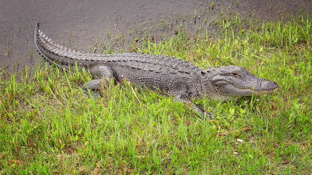 American alligator sunning himself on bank of a canal along Pintail Wildlife Drive at Cameron Prairie National Wildlife Refuge in Louisiana