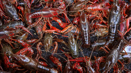 Fresh live crawfish for sale in New Orleans, extreme closeup